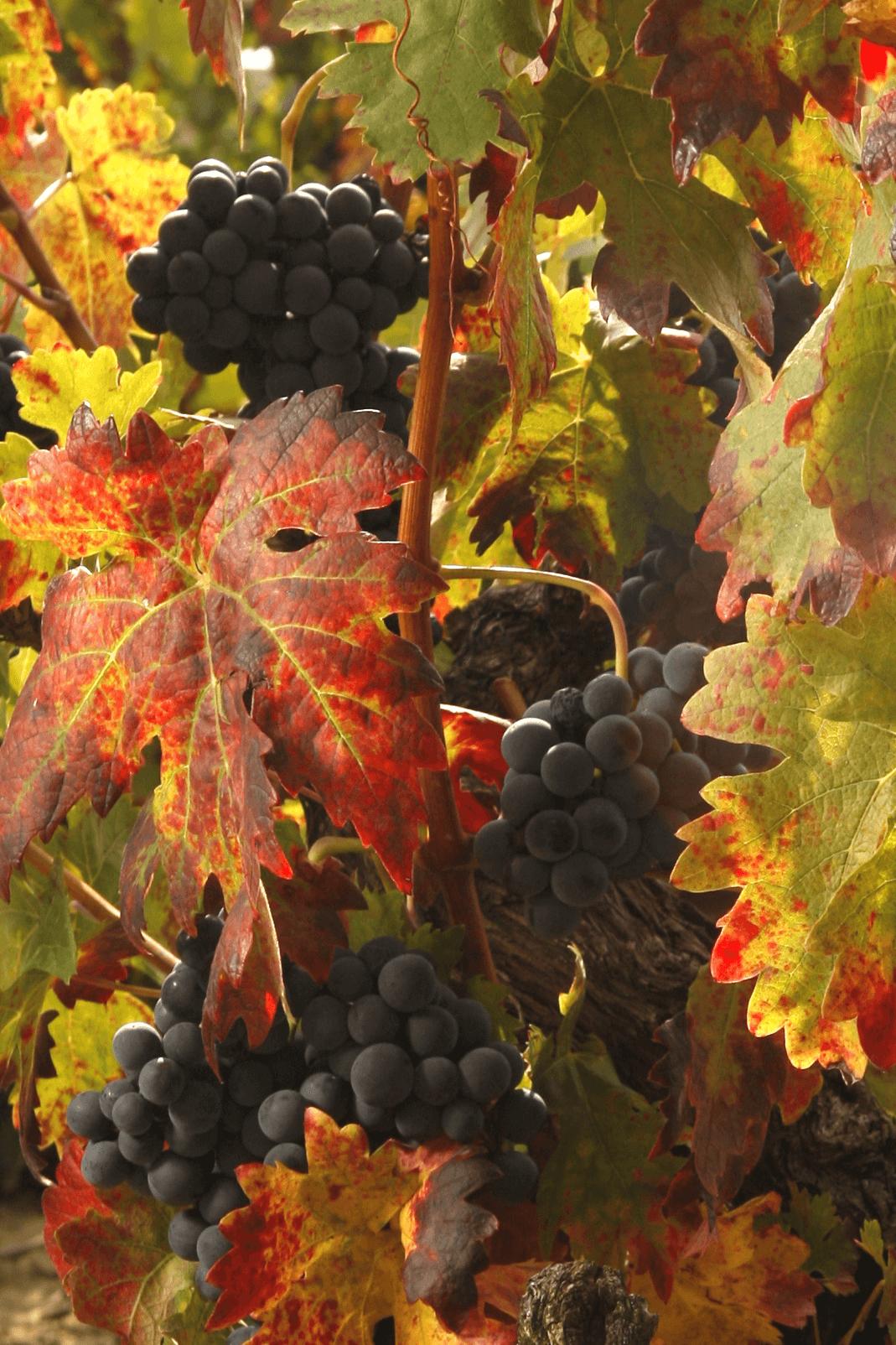 bodegas taron vinos la rioja uvas vertical