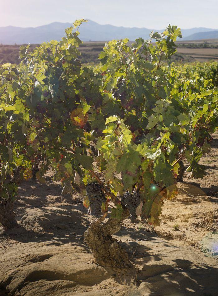 enoturismo en La Rioja viñedo centenario