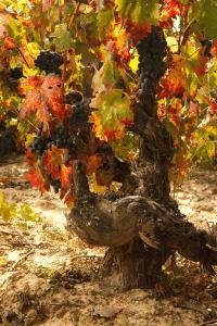 bodegas taron vinos la rioja uvas horizontal